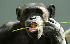 chimpanze (Foto: Cameron Spencer/Getty Images)