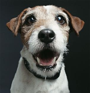 CONSAGRADO O cão ator Uggie, de 10 anos, em pose recente. A atuação dele provoca debate entre os críticos (Foto: Gavin Bond/Corbis Outline)