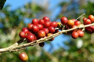 Plantação de café Ipanema Coffees (Foto: Reprodução internet)