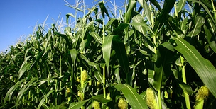 Agricultura Safra agrícola Milho Agronegócio (Foto: Getty Images)
