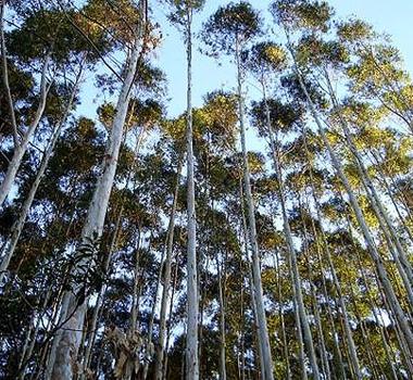 Floresta Árvore Crédito de carbono Meio ambiente Celulose Sustentabilidade (Foto: Shutterstock)