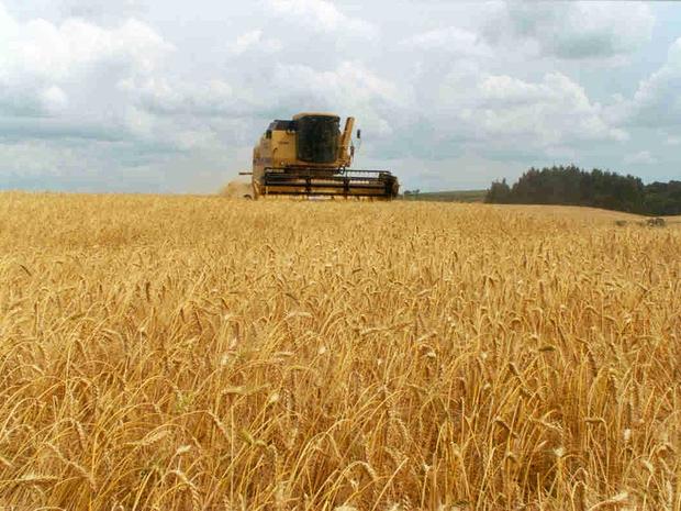 Safra agrícola Colheita de trigo Plantação (Foto: Divulgação)