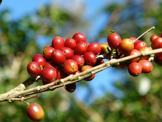 Plantação de café: produção da Ipanema Coffees atrai atenção dos japoneses (Foto: Reprodução internet)