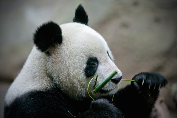 Panda (Foto: Getty Images)