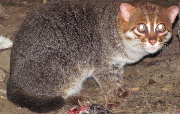 Gato de cabeça chata (Foto:  Zoológico de Copenhage)