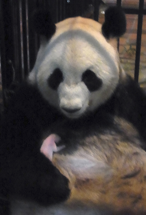 Panda Japão (Foto: AP)