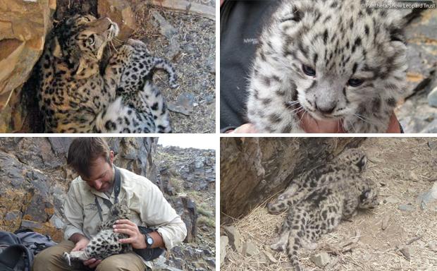 Leopardo-das-neves (Foto: Panthera/Snow Leopard Trust)