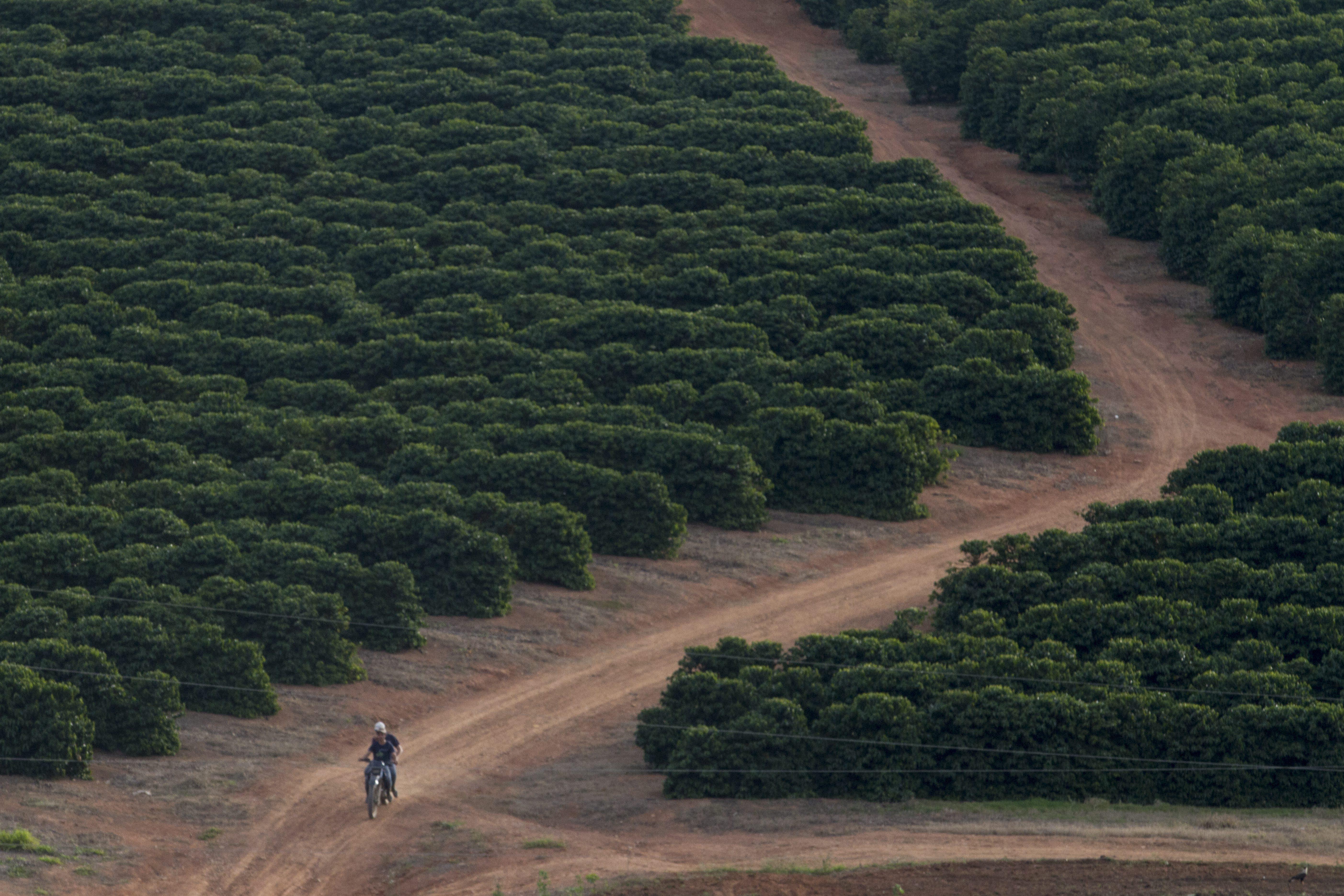 Cafezais do Espírito Santo sofreram com a seca por dois anos seguidos. (Foto: Rogerio Albuquerque / Editora Globo)